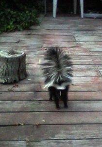 Skunk on back porch